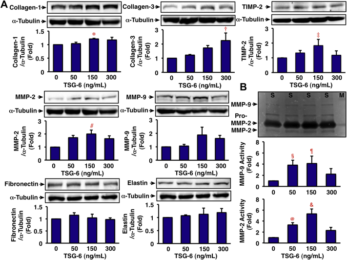 Effects of TSG-6 on ECM Expression in Human VSMCs (A) HASMCs were incubated for 24 h with the indicated concentrations of TSG-6 and were harvested for immunoblotting analyses of collagen-1, collagen-3, TIMP-2, MMP-2, MMP-9, fibronectin, elastin, and α-tubulin. (Top) Representative results of protein expression of each molecule. (Bottom) Densitometric data of each molecule after normalization relative to α-tubulin. n = 4 to 7; *p = 0.025; †p = 0.015; ‡p = 0.047; #p