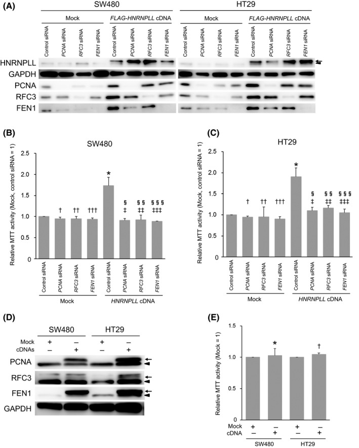 Knockdown of PCNA , RFC 3 or FEN 1 suppresses the increased cell proliferation caused by HNRNPLL overexpression. A, Western blot analysis to confirm the overexpression of HNRNPLL and knockdown of PCNA , RFC 3 and FEN 1. Arrows and arrowheads indicate FLAG ‐tagged or endogenous HNRNPLL , respectively. B, MTT assay was performed for Mock‐ or HNRNPLL cDNA ‐transduced SW 480 cells 72 h after transfection of control si RNA or si RNA (s) targeting PCNA , RFC 3 , or FEN 1 . Error bars, SD . P = .036 (*), .20 ( † ), .32 ( †† ), .12 ( ††† ), .030 ( ‡ ), .038 ( ‡‡ ), .027 ( ‡‡‡ ), .50 ( § ), .78 ( §§ ) and .21 ( §§§ ). C, MTT assay was performed for Mock‐ or HNRNPLL cDNA ‐transduced HT 29 cells 72 h after transfection of control si RNA or si RNA (s) targeting PCNA , RFC 3 , or FEN 1 . Error bars, SD . P = .026 (*), .079 ( † ), .79 ( †† ), .12 ( ††† ), .036 ( ‡ ), .040 ( ‡‡ ), .033 ( ‡‡‡ ), .12 ( § ), .34 ( §§ ) and .18 ( §§§ ). D, Western blot analysis to confirm the overexpression of FLAG ‐ PCNA , FLAG ‐ RFC 3 and FLAG ‐ FEN 1 in SW 480 and HT 29 cells simultaneously transduced with their cDNA s. Arrows and arrowheads indicate FLAG ‐tagged or endogenous proteins, respectively. E, MTT assay was performed for SW 480 and HT 29 cells transduced with mock vector or PCNA , RFC 3 and FEN 1 cDNA . Error bars, SD . P = .76 (*) and .090 ( † )