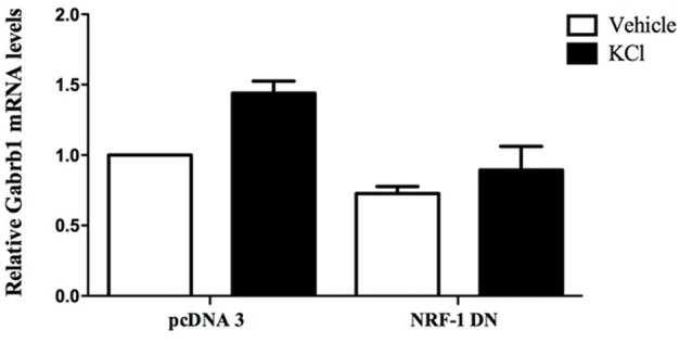 Overexpression of dominant negative NRF-1 attenuates the increase in β1 subunit mRNA levels in response to neuronal stimulation of primary cortical neurons. Primary cortical neurons were transfected with empty vector (pcDNA3) or dominant negative NRF-1 (NRF-1 DN; using Nucleofection™) and plated in 6-well plates. DIV7 cells were treated with either vehicle or 20 mM KCl for 6 h. Total mRNA was isolated from cells and quantified by TaqMan qRT-PCR. Gabrb1 mRNA expression was normalized to Cyclophilin A mRNA levels and is presented relative to its levels in pcDNA3 transfected neurons that were treated with vehicle (expressed as 1). Data represent the average ± SEM of n = 3 independent primary neuronal cultures. Two-way ANOVA was performed (comparison between treatments, p = 0.0148; comparison between transfected DNA conditions, p = 0.0031) with Bonferroni post hoc analysis (adjusted p value = 0.0263 for KCl vs. water with pcDNA transfection, not significant for NRF-1 DN).