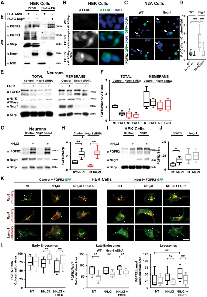 NEGR1 influences FGFR2 intracellular trafficking. ( A ) Representative immunoblots on protein extracts from lysates of HEK293 cells expressing control <t>FLAG-NSF</t> or FLAG-NEGR1, chemically cross-linked, solubilized and processed for FLAG-immunoprecipitation (pull down, FLAG-PD). NEGR1 interacts with FGFR2 but not with FGFR1, S6 ribosomial protein (S6rp) or ubiquitously expressed ATPase N -ethylmaleimide sensitive factor (NSF). INPUT, 10% of total lysate. Similar experiments were repeated four times. ( B ) Representative fluorescence images of FLAG and DAPI immunostainings in wild-type or FGFR2-expressing HEK293 cells (FGFR2) exposed to purified soluble FLAG-NEGR1 (sFLAG-Negr1) or first to sFLAG-Negr1 and subsequently to the pan-FGFRs activator FGFb. Scale bar = 20 μm. ( C ) Representative images of GFP fluorescence and DAPI staining in wild-type or N2A cells stably expressing FLAG-NEGR1 assayed for cluster-formation when transfected with GFP alone or FGFR2-GFP. Arrows indicate clustered cells; arrowheads indicate GFP-expressing cells. Scale bar = 20 μm. ( D ) Quantification of the number of cells organized in clusters in experiments as in C . Data are expressed as average number of cells organized in cluster. Asterisks indicate statistically significant difference (one-way ANOVA, post hoc Bonferroni test: *** P