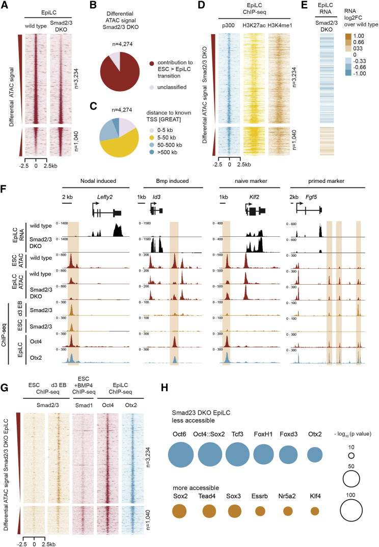 Smad2/3 Influences the Activity of Oct4-Occupied Distal Regulatory Enhancers during Priming (A) Heatmap of regulatory elements with differential chromatin accessibility in Smad2/3 DKO EpiLCs compared to WT EpiLCs, as measured by ATAC-seq (false discovery rate [FDR]