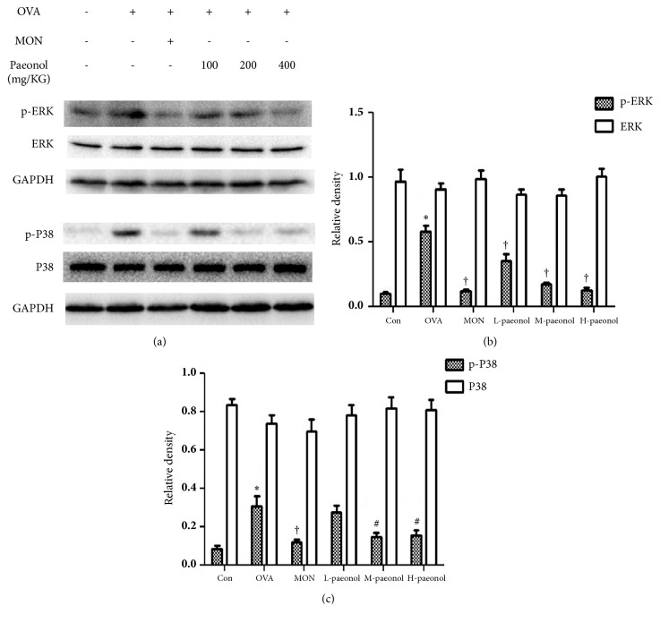 Changed expression of p-P38 and p-ERK in asthma and paeonol treatment. (a) The expression of p-ERK, ERK, p-P38, and P38 was analysed by immune blot. GAPDH was utilized as the standard control. (b) The band signal strengths of p-ERK and ERK were expressed as a ratio to ERK and GAPDH, respectively (n= 4 per group). (c) The band signal strengths of p-P38 and P38 were expressed as a ratio to P38 and GAPDH, respectively. The data were expressed as the means ± SEM (n = 4 per group). Extracellular signal-regulated kinase, ERK; glyceraldehyde-3-phosphate dehydrogenase, GAPDH; ovalbumin, OVA; control, Con; montelukast sodium, Mon. ∗ P