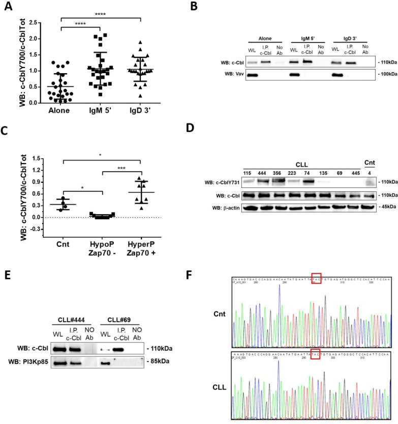 Analysis of c-Cbl phosphorylation and its association with PI3K regulatory subunit p85 ( A ) Densitometric ananlysis of c-CblY700/c-CblTot ratio in 24 CLL patients before (Alone) and after 5 minutes of IgM (IgM) and 3 minutes of IgD (IgD). Data obtained were evaluated for their statistical significance with pair Student's t test ( **** p