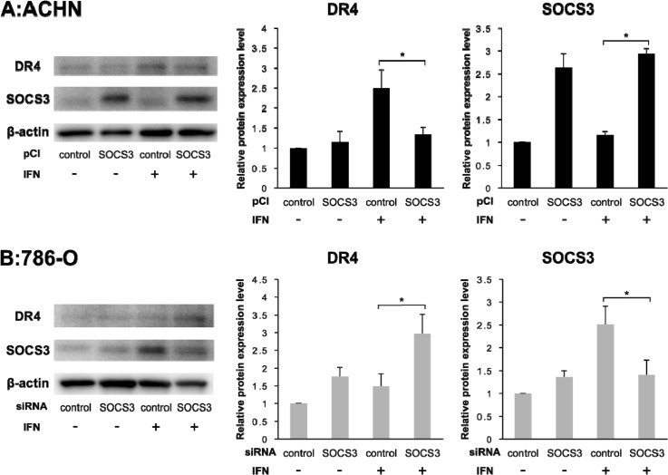 DR4 protein expression depends on SOCS3 Individual bands of the Western blotting analysis were quantified using Image Lab 3.0 software and compared with protein expression levels. (A) Effect of pCI-SOCS3 on ACHN cells. Overexpression of SOCS3 suppressed the DR4 expression by IFN in ACHN cells. (B) Effect of SOCS3-siRNA on 786-O cells. DR4 protein expression was dependent on SOCS3 expression. The results are expressed as the relative mean ratio ± SE of at least three independent determinations. * p