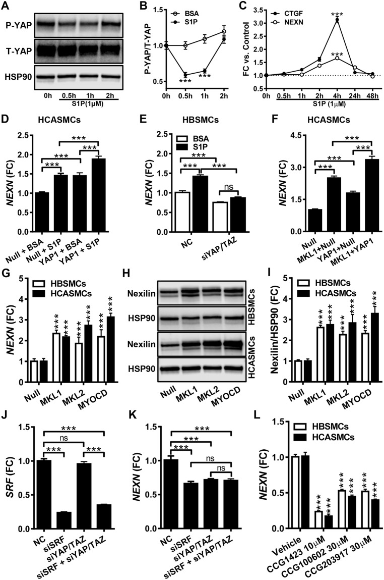 Nexilin/ NEXN expression is controlled by YAP and by myocardin family coactivators. Panel A shows phosphorylation of YAP (P-YAP) in human coronary artery SMCs (HCASMCs) prior to and at different times after addition of sphingosine-1-phosphate (S1P). Panel B shows compiled data on YAP phosphorylation (N = 9). In panel C, qRT-PCR for NEXN and CTGF at different times after S1P addition is shown (N = 9). Panel D shows NEXN mRNA expression following adenoviral transduction of YAP1 and S1P treatment, individually and in combination (N = 11). Panel E shows the effect of dual silencing of YAP( YAP1) and TAZ ( WWTR1 ) on NEXN mRNA expression under basal conditions and after S1P stimulation of human bladder SMCs (HBSMCs) (N = 9). Panel F shows the mRNA level of NEXN after overexpression of MRTF-A/ MKL1 and YAP1 , alone and in combination (N = 9). Panel G shows the mRNA level of NEXN in control conditions and following overexpression of MRTF-A/ MKL1 , MRTF-B/ MKL2 and myocardin/ MYOCD (HBSMCs, N = 6–8; HCASMCs, N = 6). Panel H shows western blots for Nexilin following overexpression of MRTFs in bladder (top) and coronary artery (bottom) SMCs, and panel I shows compiled protein data (N = 9). Panel J shows the mRNA level for SRF following silencing of SRF , YAP/TAZ, or both. Panel K shows the associated reduction of the NEXN mRNA (N = 6). Panel L shows the effect of pharmacological inhibition of MRTF/SRF signaling in bladder and coronary artery SMCs (HBSMCs, N = 12; HCASMCs, N = 9).