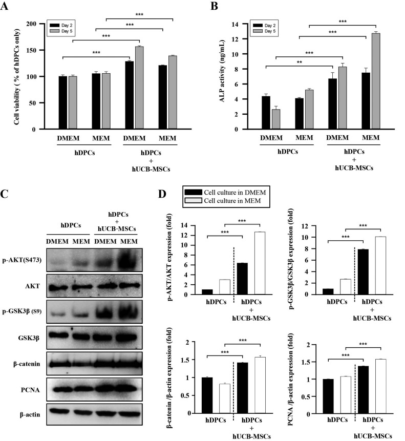 The effects of hUCB-MSCs on cell viability, ALP activity, and AKT/GSK3β/β-catenin pathway regulation of hDPCs. hDPCs were co-cultured with hUCB-MSCs for 48 h or 120 h in two types of culture media (DMEM and MEM). (A) The cell viability was estimated using a WST-8 assay. (B) ALP activity. (C) Representative images of Western blot protein assays for p-AKT, AKT, p-GSK3β, GSK3β, β-catenin, and proliferating cell nuclear antigen (PCNA) in dermal papilla cells. hDPCs and hUCB-MSCs were seeded in 6-well transwell plates. After 48 h, the cell lysates were harvested for Western blot assays. (D) Intensities of the immunoreactive bands on the Western blots as quantified by densitometric analysis. For all graphs, the data is reported as mean±SD. * p