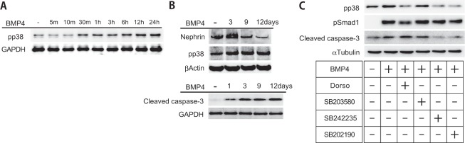 BMP4 induced apoptotic signaling in cultured podocytes. (A) Cultured podocytes were treated with BMP4 (20 ng/ml) at the indicated time points. BMP4 treatment of podocytes increased levels of phosphorylated p38 in a time-dependent manner. (B) BMP4 decreased nephrin expression and increased cleaved caspase-3 levels after 12 days of stimulation. (C) Cultured podocytes were untreated or incubated with dorsomorphin (Dorso), SB203580, SB242235 or SB202190 for 24 hr and then stimulated with BMP4. Each inhibitor was added to the culture medium at a concentration of 500 nM. The pp38 levels were decreased in cells treated with dorsomorphin, SB242235 and SB202190. The pSmad1 levels were decreased in response to dorsomorphin treatments. The cleaved caspase-3 levels were decreased in cells treated with SB242235 and SB202190. Total cell lysates were immunoblotted with anti-pp38, anti-nephrin, anti-cleaved caspase-3, anti-pSmad1, anti-GAPDH, anti-β-actin and anti-α-tubulin antibodies.