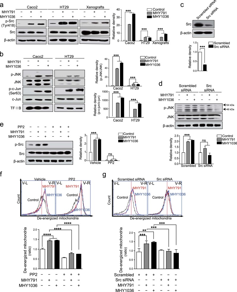 Activation of Src mediates MHY-induced apoptosis. a Caco2 and HT29 cells were treated with MHYs (10 μM) for 24 h and xenografts (HT29 cells) were treated with MHYs (3 mg/kg) for 8 days. Src phosphorylation levels were measured in Caco2 and HT29 cells as well as in xenografts. b Caco2 and HT29 cells were treated with MHYs (10 μM) for 24 h to investigate the levels of phospho-JNK and phospho-c-Jun. c HT29 cells were transfected with scrambled siRNA and Src siRNA. d HT29 cells expressing scrambled siRNA and Src siRNA were treated with MHYs (10 μM) for 24 h to measure JNK phosphorylation. e HT29 cells were pre-treated with the Src inhibitor <t>PP2</t> (100 nM) for 30 min followed by MHYs (10 μM) for 24 h. Relative density measurements correspond to the intensities of the immunoblotting bands normalized to an internal control ( n = 3). f Mitochondrial membrane dysfunction was determined by FACS analysis. HT29 cells were pre-treated with PP2 (100 nM) for 30 min followed by MHYs (10 μM) for 24 h ( n = 3). g HT29 cells expressing scrambled siRNA and Src siRNA were treated with MHYs (10 μM) for 24 h to measure mitochondrial dysfunction ( n = 3). Data are shown as mean ± SD. Statistical significance was determined by one-way ANOVA followed by Tukey post-hoc test. Statistical significance is indicated as ** p