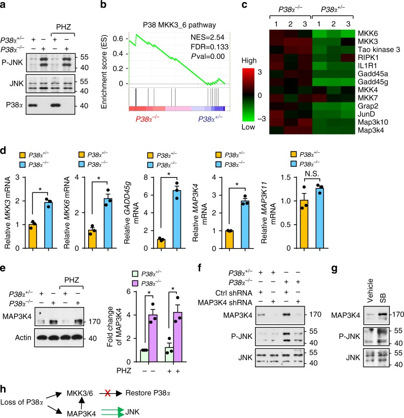 Upregulated Map3k4 due to P38α deficiency mediates JNK activation in erythroblasts. a In sorted erythroblasts from P38α +/ − and P38α − / − mice, phosphorylated JNK (46 and 54 kDa) was detected by immunoblotting. b Gene set enrichment analysis (GSEA) of the P38 pathway based on gene expression profiling of sorted CD71 high Ter119 + erythroblasts from P38α +/ − and P38α − / − mice during recovery from PHZ challenge. NES normalized enrichment score; FDR false discovery rate q -value. c Heat map of P38α-related genes. d mRNA levels of key P38 and JNK regulatory genes in sorted P38α +/ − and P38α − / − CD71 high Ter119 + erythroblasts by q-PCR. e Western blot (left) and densitometry analysis (right) of Map3k4 protein level in P38α +/ − and P38α − / − erythroblasts. Data are shown as mean ± s.e.m from three separate experiments. f Sorted GFP + P38α +/ − and P38α − / − cells transduced with control or Map3k4-specific shRNA. Expression of phosphorylated JNK and Map3k4 as assessed by immunoblotting. g Expression of phosphorylated JNK and Map3k4 in human erythroblasts cultured with DMSO or SB203580. h Schematic diagram demonstrating mechanism by which loss of P38α rewires increased Map3k4 to exclusively activate JNK. Blots are representative of three independent experiments. Data are shown as mean ± s.e.m. * P