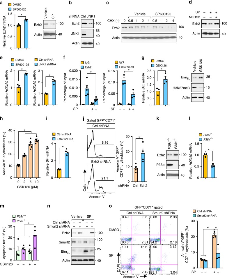 JNK inhibits Bim expression through suppressing Smurf2-mediated degradation of Ezh2. a mRNA (left) and protein (right) levels of Ezh2 in human erythroblasts triggered by SP600125 assessed by q-PCR or immunoblotting. b Ezh2 protein level induced by JNK1 silencing measured by immunoblotting. c Time course of Ezh2 levels in CHX-treated human erythroblasts with DMSO or SP600125. d SP600125-induced degradation of Ezh2 in the presence of DMSO or MG132 (10 µM) by immunoblotting. e mRNA expression of HOXA9 in human erythroblasts induced by SP600125 (left) or JNK1 shRNA (right) by q-PCR. f Quantitative chromatin immunoprecipitation analysis of occupancy of Ezh2 (left, n = 5) and H3K27me3 (right, n = 3) on Bim promoter in human erythroblasts treated with vehicle or SP600125. g mRNA (left) and protein (right) levels of Bim induced by GSK126 (5 µM) for 12 h. h Apoptosis of human erythroblasts trigged by GSK126 and measured by flow cytometry. i mRNA expression of Bim induced by Ezh2 silencing. j Representative flow cytometry profile (left) and quantification (right) of apoptotic human erythroblasts induced by Ezh2-specific shRNA ( n = 4). k Ezh2 protein levels in P38α +/ − and P38α − / − erythroblasts by immunoblotting. l mRNA levels of HOXA9 in P38α +/ − and P38α − / − erythroblasts by q-PCR. m Apoptosis in P38α +/ − and P38α − / − erythroblasts subjected to GSK126 (5 µM) ( n = 4). n Protein levels of Ezh2, Smurf2, and Bim in human erythroblasts transduced with control or smurf2-specific shRNA then treated with SP600125. o Representative flow cytometry profile (left) and quantification (right) of SP600125-induced apoptosis of human erythroblasts transduced with control or smurf2-specific shRNA ( n = 3). Blots are representative of two independent experiments. Data are shown as mean ± s.e.m. * P