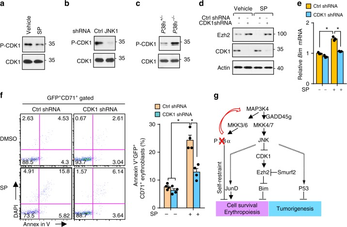 JNK-mediated Cdk1 inhibition stabilizes Ezh2 and supports erythroblasts. a , b Tyr-15 phosphorylation of Cdk1 in SP600125-treated ( a ) or in JNK1-silenced ( b ) human erythroblasts by immunoblotting. c Phosphorylation of Tyr-15 of Cdk1 in P38α +/ − and P38α − / − erythroblasts. d – f Human erythroblasts transduced with control or cdk1-specific shRNA and treated with vehicle or SP600125. Protein levels of Ezh2 and Cdk1 by immunoblotting ( d ), mRNA expression of Bim by q-PCR ( e ), and representative flow cytometry profile (left) and quantification (right) of apoptotic human erythroblasts ( f ) ( n = 4). g Schematic outlining a proposed mechanism mediating rewired JNK activation due to lack of P38 via Map3k4 and their downstream targets regulating erythropoiesis. Blots are representative of three independent experiments. Data are shown as mean ± s.e.m. * P