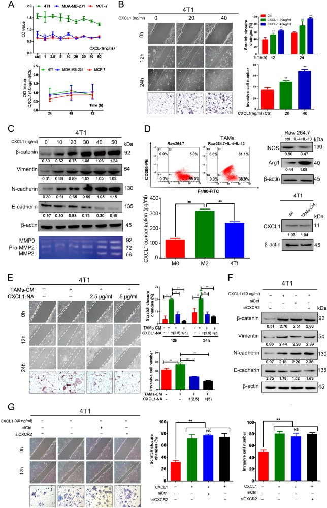 TAM-secreted CXCL1 promotes mouse breast cancer cells migration and invasion. a CXCL1 had little influence on the proliferation of breast cancer cells including 4T1, MDA-MB-231 and MCF-7 in both dose- and time-dependent manner. b Would-healing and Transwell assay revealed that CXCL1 could promote the migration and invasion ability of 4T1 cells. c Western blotting results showed that CXCL1 administration promotes the EMT process of 4T1 cells, presenting as dose-dependent increase of vimentin, N-cadherin, β-catenin and gradual downregulation of E-cadherin. Gelatin zymography also indicated that CXCL1 treatment results in increased secretion of MMP-9 and MMP-2 from 4T1 cells. d The mouse macrophage cell line Raw264.7 was induced to TAMs by administrating IL-4 and IL-13, resulting in the increased expression of CD206 and Arg-1, and reduction of iNOS; Meanwhile, ELISA assay demonstrated that CXCL1 expression in M2-Raw264.7 supernatants was significantly higher than that in either M0-Raw164.7 or 4T1 cancer cells. Notably, the CM of TAMs did not increase CXCL1 expression in 4T1 cancer cells. e TAMs-CM treatment led to increased migration and invasion ability of 4T1 cells, whereas was blocked by administration of CXCL1-neutralizing antibody. f, g CXCR2 silencing in 4T1 cancer cells did not block CXCL1-induced EMT and invasion ability. (All values from three independent experiments are quantified as mean ± SD, ** P