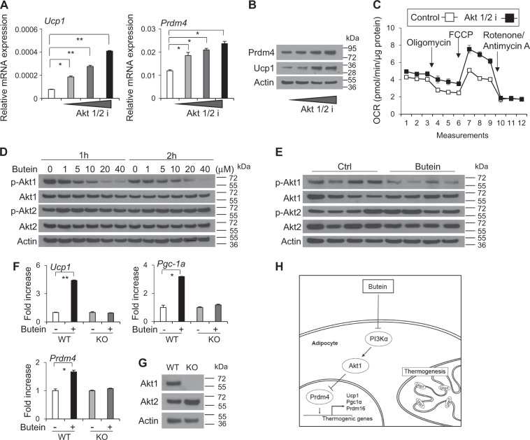 Butein selectively inhibits Akt1 and Akt1 is necessary for effects of butein in adipocytes. a C3H10T1/2 adipocytes were treated with 10, 20, 40 μM of Pan Akt inhibitor (Akt1/2 i) for 6 h and expression levels of Ucp1 and Prdm4 mRNA were determined by real-time PCR. b C3H10T1/2 adipocytes were treated with Akt1/2 i (10, 20, or 40 μM) for 6 h and expression levels of Prdm4 and Ucp1 protein were measured by western blotting. c C3H10T1/2 adipocytes were treated with 20 μM of Pan Akt inhibitor (Akt1/2 i) for 6 h and consumption rates (OCR) was measured in approximately 8 min intervals using XF24 Extracellular Flux Analyzer. Data represent means ± s.d. ( n = 3). d C3H10T1/2 adipocytes were treated with butein, and Akt1 and Akt2 phosphorylation levels were determined by western blot analysis. e Akt1 and Akt2 phosphorylation levels in epididymal adipose tissue (eWAT) of HFD-fed C57BL/6J mice treated with butein or control for 3 weeks ( n = 4 per group) were determined by western blot analysis. f Mouse embryonic fibroblast isolated from wild-type (WT) mice or Akt1 knockout (KO) mice were treated with DMSO (control) or butein for 12 h and expression of Prdm4 and thermogenic genes were determined. g Expression of Akt1 in WT and KO MEF was verified by western blot analysis. h Model of adipocyte browning by butein. Butein inhibit the PI3Kα–Akt1 pathway in adipocytes, leading to upregulation of Prdm4 followed by expression of thermogenic genes. Data represent mean ± s.e.m. and statistically significant differences were determined by Student's t -test. * P