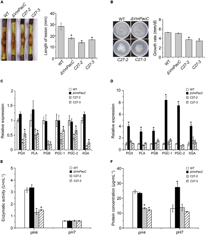 Negative regulation of pectinase production by VmPacC dominant activated mutants C27-2 and C27-3. (A) Phenotypes of twigs inoculated with wild-type, VmPacC deletion mutant, and activated mutants C27-2 and C27-3; length of lesions was measured at 9 days post-inoculation. (B) Mycelial growth on SM supplemented with pectin for 6 days. Expression levels of pectinase genes in wild-type, deletion mutant, and activated mutant strains cultured in SM medium supplemented with pectin at pH 4 (C) and pH 7 (D) determined using qRT-PCR. (E) Pectinase activity of different strains cultured in MS supplemented pectin for 12 h. (F) Assays for protein concentration of wild-type, deletion mutant, and activated mutant strains in 1% pectin inducing medium after culture for 12 h. Bars marked by asterisks in each group differ significantly from wild-type (LSD, P