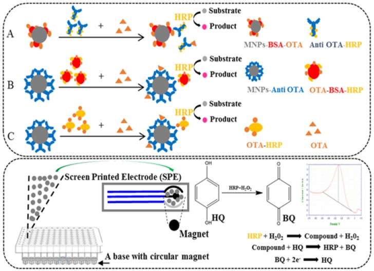 Schematic illustrations of the three different types of magnetic nanoparticles-based ELISA (MNPs-ELISA) (top) and magnetic nanoparticles and screen-printed electrodes-based electrochemical biosensor (MNPs-SPEs sensor) (bottom). ( A ) Anti <t>OTA-HRP</t> MNPs-ELISA, ( B ) <t>OTA-BSA-HRP</t> MNPs-ELISA, and ( C ) OTA-HRP MNPs-ELISA.