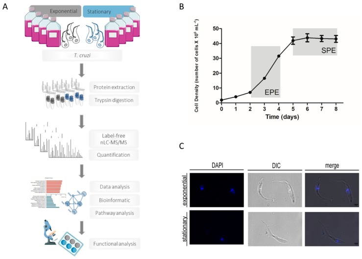 Mass spectrometry-based proteomics approach to assess the regulation of proteins during transitioning from exponential to stationary phase in Trypanosoma <t>cruzi</t> cells. ( A ) Proteomics workflow for identification and quantification of regulated proteins in T. cruzi during growth phase transitioning. T. cruzi epimastigote cells were taken during the exponential and stationary phase before protein extraction and tryptic digestion. Tryptic peptides were analyzed by <t>nano-liquid</t> chromatography tandem mass spectrometry (nLC-MS/MS) analysis. After data and bioinformatic analysis combined with functional studies, this approach made possible the assessment of protein regulation during T. cruzi exponential to stationary phase transitioning. ( B ) Epimastigotes growth curve presenting typical exponential and stationary phases with physiological differences. Optic microscopy representative images show the different shape of the exponential and stationary phases of the parasite. ( C ) Microscopic analysis of T. cruzi epimastigotes at the exponential and stationary phases using phase-contrast microscope and DAPI staining. DIC: differential interference contrast. Scale bar: 4 μm.