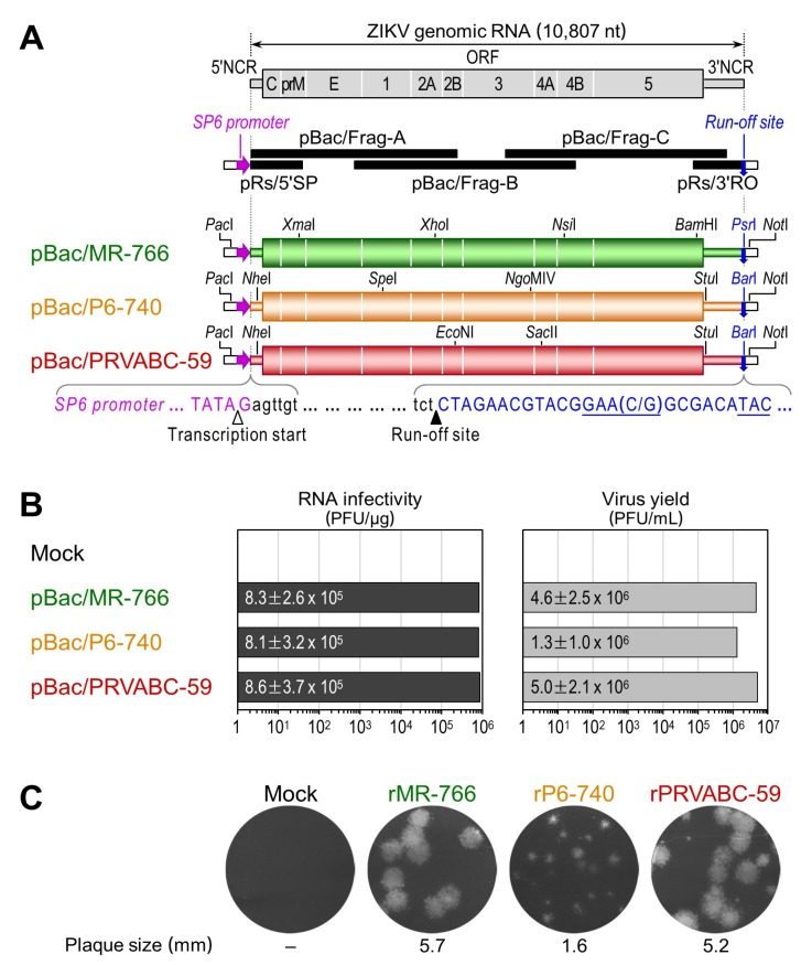 A trio of functional ZIKV cDNAs was created for the rescue of three molecularly cloned genetically divergent strains: rMR-766, rP6-740, and rPRVABC-59. ( A ) Construction of three full-length ZIKV cDNAs as BACs for MR-766, P6-740, and PRVABC-59. In all three cases, each genomic RNA (top panel) was first subcloned into five overlapping cDNAs (middle panel), which were then joined at four shared restriction sites as indicated to assemble its full-length cDNA without introducing any point mutations for cloning (bottom panel). Presented below the three full-length cDNAs are the sequences corresponding to the 5′ and 3′ termini conserved in all three ZIKVs (black lowercase), an SP6 promoter placed just upstream of the viral genome (magenta uppercase), and a run-off site positioned immediately downstream of the viral genome ( Psr I or Bar I, blue uppercase). Marked below the sequences are the transcription start (white arrowhead) and run-off (black arrowhead) sites; ( B ) Functionality of the three full-length ZIKV cDNAs. After linearization with Psr I or Bar I, as appropriate, each full-length cDNA was used as a template for in vitro transcription with SP6 RNA polymerase in the presence of the dinucleotide cap analog m 7 GpppA. Capped RNA transcripts were transfected into Vero cells to determine the number of infectious centers (plaques) counterstained with crystal violet at 5 days after transfection (RNA infectivity). At 36 h post-transfection, culture supernatants from RNA-transfected cells were harvested to estimate the level of virus production by plaque assays on Vero cells (Virus yield). Means and standard deviations from three independent experiments are shown; ( C ) Plaque morphology. The average plaque sizes were estimated by measuring 20 representative plaques.