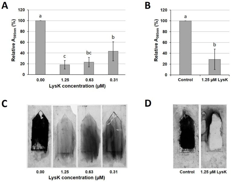 Efficacy of LysK against dynamic S. aureus SA113 biofilms grown on glass surfaces in the Biostream flow cell. Biofilms were grown for 20 h at 19 °C under continuous flow of medium. Glass slides were then submerged in solutions of LysK at different concentrations or buffer as a control for 5 h ( A , C ) or 2 h ( B , D ), and stained with crystal violet. The stain was dissolved in 96% ethanol and the A 595nm measured spectrophotometrically ( A , B ). All values were normalized to the control. Error bars indicate standard deviations from at least three independent experiments. Bars with different letters are significantly different from each other ( p
