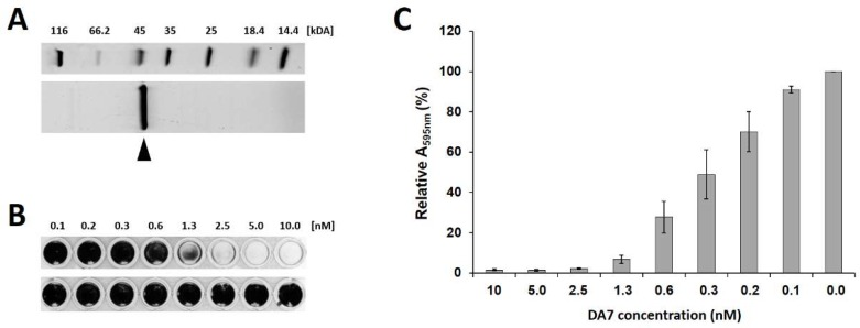Purification and anti-biofilm activity of the polysaccharide depolymerase DA7. ( A ) Sodium dodecyl sulfate polyacrylamide gel electrophoresis (SDS-PAGE) of purified DA7 protein. The band of interest (expected molecular weight: 42.1 kDa) is marked by an arrow. ( B ) Static S. aureus SA113 biofilms were grown at 30 °C for 24 h, treated with increasing concentrations of DA7 ( top ) or buffer as a control ( bottom ) for 30 min at 30 °C, and stained with crystal violet (CV). ( C ) Relative A 595nm values measured after dissolving the CV stain on residual biofilms in 96% ethanol after DA7 treatment as shown in panel B. Values are normalized to the control, and error bars represent standard errors of the mean from three independent experiments.