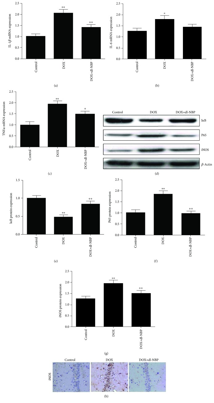 Effects of DOX and dl-NBP on neuroinflammation biomarkers: gene expression of IL-1 β (a), IL-6 (b), and TNF- α (c); protein expression of I κ B (e), p65 (f), and iNOS (g); and immunohistochemical staining of iNOS (h). Data are expressed as means ± SEM ( n = 8). ∗ p