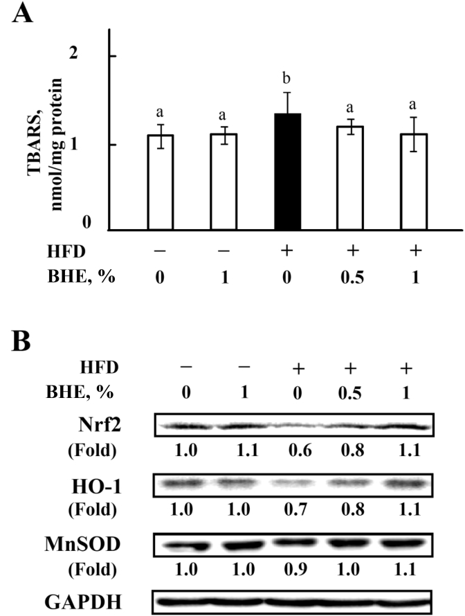 Blue honeysuckle extract (BHE) improved hepatic antioxidant capacity. (A) The level of thiobarbituric acid reactive substances (TBARS) in liver. (B) The representative blots of nuclear factor (erythroid-derived 2)-like 2 (Nrf2), heme oxygenase-1 (HO-1), and manganese-dependent superoxide dismutase (MnSOD) protein in liver by Western blotting. The induction folds of the proteins were calculated as the intensity of the treatment relative to that of control normalized to glyceraldehyde-3-phosphate dehydrogenase (GAPDH) by densitometry. Data represent means ± SD of 4 mice, and the blots are representatives of 4 samples. Bars with different letters differ significantly ( P
