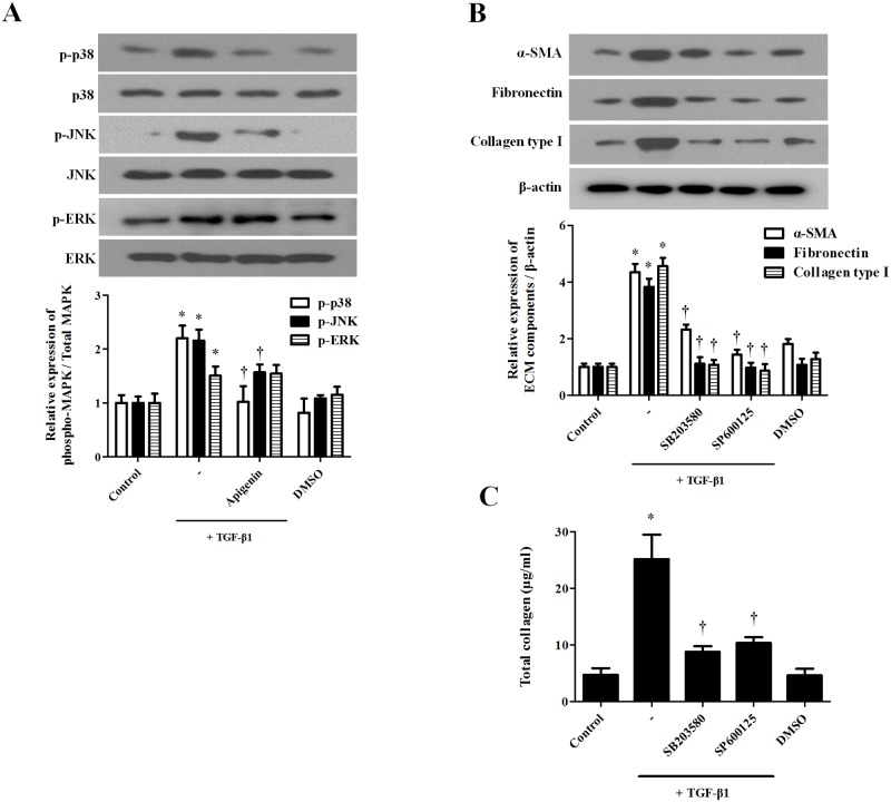 Effect of apigenin on the TGF-β1-induced MAPK signaling pathway in nasal fibroblasts. Nasal fibroblasts were pretreated with apigenin (5 μM) for 1 hour and combined with TGF-β1 (5 ng/ml). (A) Phosphorylation of MAPK (p-p38, p-JNK, and p-ERK) was detected by western blot. (B) Nasal fibroblasts were stimulated with TGF-β1 with or without the following specific inhibitors: SB203580 (10 μM), SP600125 (5 μM). Protein expression levels of a -SMA, fibronectin, and collagen type I were determined by western blot. (C) Total collagen was evaluated by sircol assay. Results were obtained from at least three independent experiments. * p