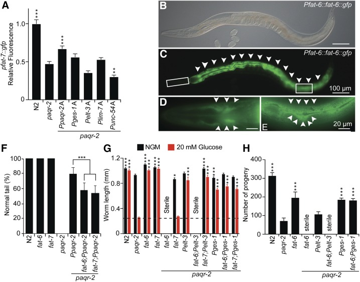 Tissue specificity of the fat-6 and fat-7 requirements. (A) Only paqr-2(+) expressed from its native promoter can significantly restore the expression levels of the fat-7 :: gfp reporter in the paqr-2 mutant (1-day-old adult worms; n ≥ 20). (B–E) Expression pattern of the CRISPR-modified fat-6 locus fused to GFP at the 3′ end of the coding region. Note the strong intestinal expression (arrowheads in C) as well as the distinct hypodermal cell expression in a different focal plane shown in the enlarged insets in D and E (arrowheads). (F) Tail tip phenotype of 1-day-old transgenic worms with the indicated genotypes. Both fat-6 and fat-7 contribute to the ability of the Ppaqr-2(+) transgene to suppress the tail tip phenotype of the paqr-2 mutant ( n ≥ 100). (G) Length of 1-day-old adult worms with the indicated genotypes cultivated on normal plates (NGM) or 20 mM glucose ( n ≥ 20). (H) Brood size of worms with the indicated genotypes cultivated on normal plates ( n = 10). * P