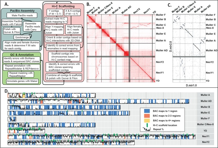 Assembly and validation of Drosophila miranda genome. A . Overview of assembly pipeline. The steps include assembly of male PacBio reads followed by scaffolding using Hi-C, and extensive QC using <t>BioNano</t> reads and BAC clone sequencing followed by gene and repeat annotation. B. Hi-C linkage density map. Chromatin interaction maps allow recovery of entire chromosome arms. Note that the Y-linked <t>contigs</t> were scaffolded separately from X-linked and autosomal contigs. Unlinked regions with many contacts indicate repetitive regions. C. Comparison of current (Dmir2.0) versus old (Dmir1.0) D . miranda assembly. Note that the Y/neo-Y was not assembled in Dmir1.0, and the dot plot indicates homology between our neo-Y assembly and the neo-X. Other repeat-rich regions, such as the large pericentromeric block on AD, are also missing from D.mir1.0. D. BAC clone mapping for assembly verification. BAC clones are color coded according to how many genomic regions they map to in our assembly; green lines indicate stitch points of scaffolds based on Hi-C contacts, and the black line gives the local repeat content along the genome. Three hundred sixty-one sequenced BAC clones (97%) map contiguously and uniquely to our genome assembly. BAC, bacterial artificial chromosome; F, female; M, male; QC, quality control; Repeat %, local repeat content.
