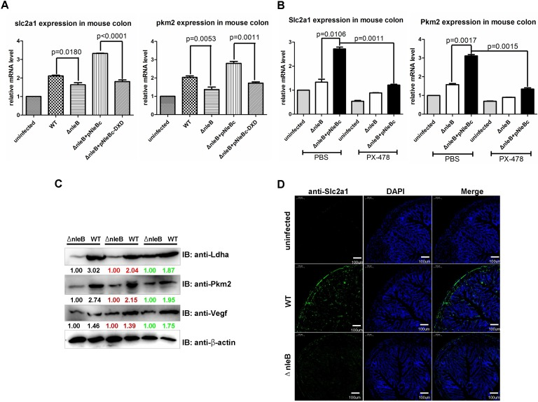 NleB enhances glucose metabolism-associated genes known to be downstream of HIF-1α in vivo . (A) Slc2a1 ( Glut1 ) and Pkm2 were enhanced by NleB in mouse colon. Male C57BL/6 mice (5–6 weeks old; 17–19 g/mouse) were orally gavaged with the wild-type C . rodentium DBS100 strain, Δ nleB strain, or were uninfected; the mutant strain was complemented with a plasmid expressing wild-type NleB (pNleBc) or the GlcNAc transferase-deficient D221A/D223A mutant (pNleBc-DXD). After 8 days, total RNA was extracted from colons (n = 5 mice for each group), and the expressions of Slc2a1 ( Glut1 ) and Pkm2 were examined by semi-quantitative RT-PCR. (B) Knocking-down HIF-1α by PX-478 rescued the enhancement of Slc2a1 ( Glut1 ) and Pkm2 by NleB in mouse colon. Male C57BL/6 mice (5–6 weeks old; 17–19 g/mouse) were injected intraperitoneally with PX-478 (30 μg/g) or PBS control for 48 h, followed by oral gavage with the indicated C . rodentium strains or were uninfected. After 8 days, total RNA was extracted from colons (n = 5 mice for each group), and the expressions of Slc2a1 ( Glut1 ) and Pkm2 were examined by semi-quantitative RT-PCR. P-values were calculated using 2-way ANOVA. (C) Protein levels of Ldha, Pkm2, and Vegf were enhanced by NleB in mouse colon. Male C57BL/6 mice (5–6 weeks old; 17–19 g/mouse) were orally gavaged with the wild-type C . rodentium DBS100 strain or Δ nleB strain. After 8 days, the protein levels of Ldha, Pkm2, and Vegf were examined by western blot (n = 3 mice for each group). (D) Slc2a1 (Glut1) expression was enhanced by NleB in mouse colon. Male C57BL/6 mice (5–6 weeks old; 17–19 g/mouse) were orally gavaged with the wild-type C . rodentium DBS100 strain, Δ nleB strain, or were uninfected. After 8 days, the expression of Slc2a1 (Glut1) was detected by immunofluorescent staining.