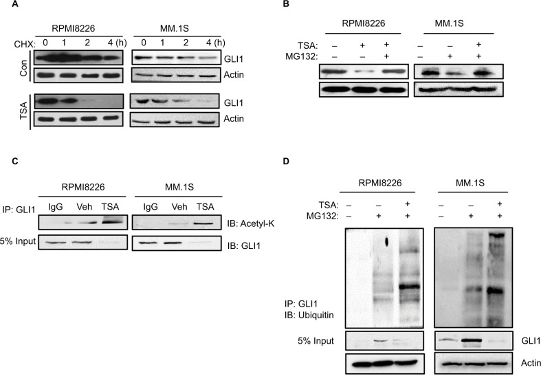 TSA enhances the degradation of GLI1. Notes: (A) GLI1 protein degradation in RPMI8226 and MM.1S cells treated with 5 μM TSA for 24 h and then 20 μM cycloheximide for up to 4 h. (B) Accumulation of GLI1 protein in RPMI8226 and MM.1S cells treated with 5 μM TSA and 10 μM MG132 for 48 h. (C) Immunoprecipitation assay showed the acetylation status of GLI1 in TSA-treated RPMI8226 and MM.1S cells. (D) Ubiquitination status of GLI1 in TSA-treated RPMI8226 and MM.1S cells were detected with immunoprecipitation. Representative images are from at least three independent experiments. Abbreviations: TSA, trichostatin A; CHX, cycloheximide; Con, control; Veh, vehicle; IB, immunoblot; IP: Immunoprecipitation.