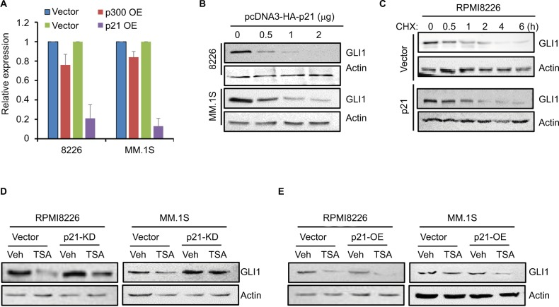 p21 induced by TSA represses the transcription of GLI1 . Notes: (A) The mRNA expression of GLI1 was detected by real-time PCR in MM cells transfected with p300 or p21 expressing (OE) plasmids compared with the vector control (vector). (B) GLI1 protein level in MM cells transfected with an increasing amount of p21 plasmid. ( C ) Half-life of GLI1 protein in RPMI8226 and MM.1S cells transfected with p21 or control plasmids was detected by Western blot. (D) RPMI8226 and MM.1S cells were transiently transfected with p21-specific or control siRNAs. Twenty-four hours post-transfection, cells were subjected for TSA treatment for another 24 h, and then, GLI1 protein was evaluated by Western blot. (E) Overexpression of p21 in RPMI8226 and MM.1S cells enhanced TSA-induced GLI1 repression. Abbreviations: TSA, trichostatin A; Veh, vehicle; MM, multiple myeloma.