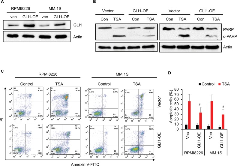 GLI1 overexpression rescues TSA-induced MM cell apoptosis. Notes: (A) Western blot assay confirmed the GLI1 protein in MM cells transfected with GLI1 expressing (OE) plasmid. (B) TSA treatment induced cleavage of PARP-1 as indicative of apoptosis in the GLI1 overexpressing MM cells compared with the vector controls. (C) Representative flow cytometry analysis of MM cells apoptosis treated with TSA for 48 h using Annexin V-FITC/PI staining. (D) Statistical analysis of three similar experiments for the MM cell apoptosis ( # P