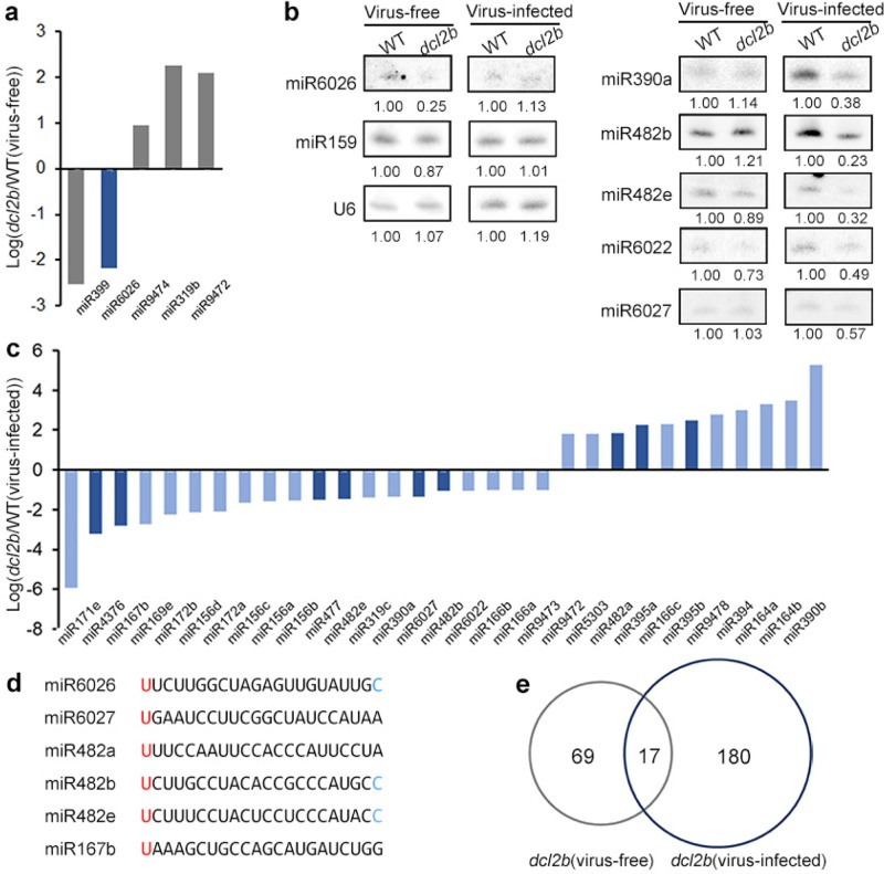 The miRNA levels were influenced in dcl2b mutants. a , c Differentially expressed miRNAs in dcl2b mutants. The 22nt miRNAs are colored dark blue. b A small RNA blot analysis of miRNAs. d The alignment of sec-siRNA triggers. Identical nucleotides and conserved nucleotides among sec-siRNA triggers were marked in red and blue, respectively. e Venn diagram for numbers of downregulated precursors of sec-siRNAs in dcl2b mutants