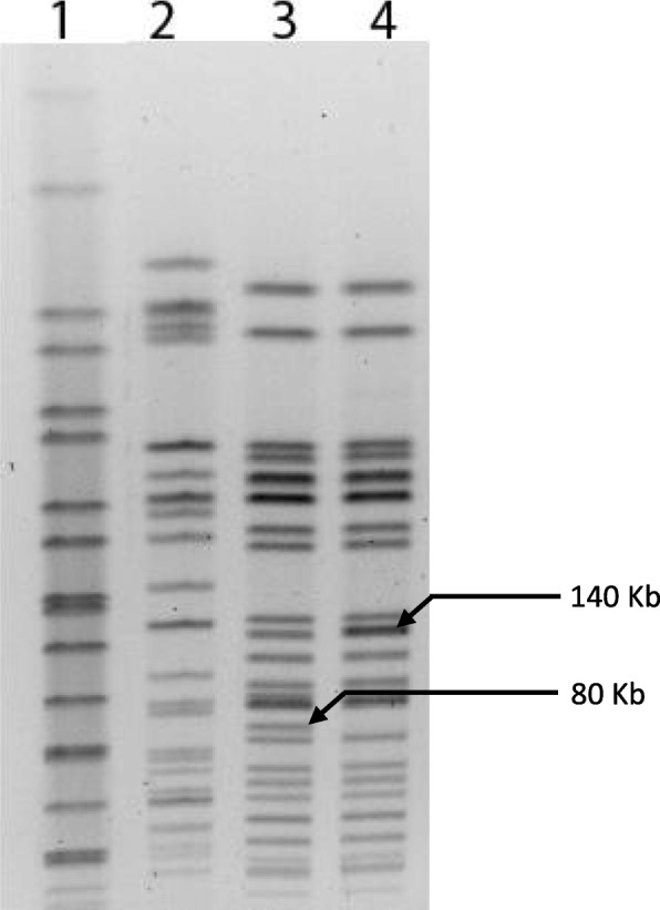 Detection of integration of stx 2 phage DNA with E. coli MC1061 chromosome by PFGE analysis. Lane 1: Salmonella Braenderup, Lane 2: E. coli O157 G51, Lane 3: E. coli MC1061, Lane 4: E. coli MC1061-Lysogen. The bottom arrow mark denotes the position of the band in E. coli MC1061 which is missing in all lysogenic strains of E. coli MC1061. The arrow mark above denotes the intensity of a band in all lysogenic strains of E. coli MC1061 which is significantly higher than that of the non-lysogenic E. coli MC1061 strain