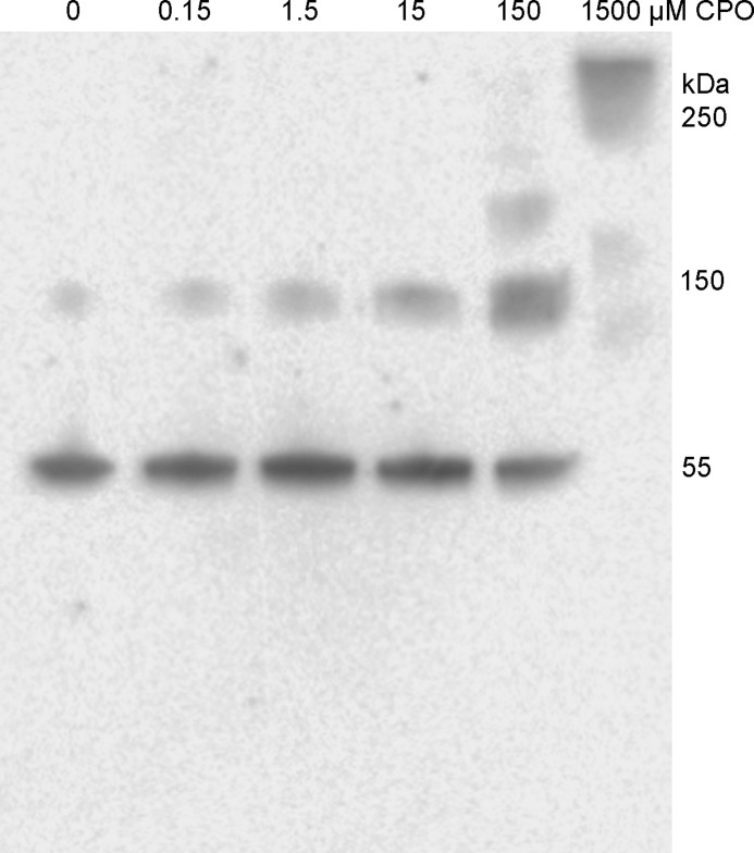 Western blotting on PVDF membrane probed with anti-tubulin antibody. Tubulin (0.25 mg/ml) was treated with 0 to 1500 μ m CPO. Each lane of the SDS gel was loaded with 1 μg of tubulin after the sample was reduced with DTT and denatured in the presence of SDS in a boiling water bath.