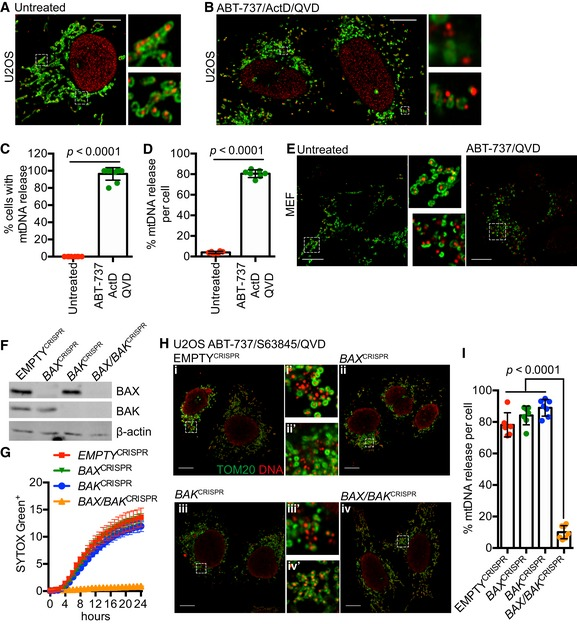 mt DNA is released from mitochondria following MOMP in a <t>BAX</t> / <t>BAK</t> ‐dependent manner Fixed super‐resolution Airyscan images of U2OS cells immunostained with anti‐TOM20 (green) and anti‐DNA (red) antibodies. Scale bar = 10 μm. Representative images from three independent experiments. Airyscan images of U2OS cells treated with 10 μM ABT‐737, 1 μM ActD and 20 μM qVD‐OPh for 3 h, immunostained with anti‐TOM20 and anti‐DNA antibodies. Scale bar = 10 μm. Representative images from three independent experiments. Quantification of cells exhibiting > 10% mtDNA release following treatment with 10 μM ABT‐737, 1 μM ActD and 20 μM qVD‐OPh. Data are expressed as mean ± SD from three independent experiments and analysed by Student's t ‐test. Quantification of the extent of mitochondrial DNA (mtDNA) nucleoid release per cell following treatment with 10 μM ABT‐737, 1 μM ActD and 20 μM qVD‐OPh. Data are expressed as mean ± SD from two independent experiments and analysed by Student's t ‐test. Airyscan images of MEF cells untreated or treated with 10 μM ABT‐737 and 20 μM qVD‐OPh for 3 h, immunostained with anti‐TOM20 and anti‐DNA antibodies. Scale bar = 10 μm. Representative images from three independent experiments. BAX and BAK expression levels in U2OS cells with CRISPR‐Cas9‐mediated deletion of BAX, BAK or BAX/BAK. U2OS cells with BAX, BAK or BAX/BAK deletion by CRISPR‐Cas9 treated with 10 μM ABT‐737 and 2 μM S63845 and analysed for cell viability using an IncuCyte live‐cell imager and SYTOX Green exclusion. Data are expressed as mean ± SEM, representative of three independent experiments, and have been normalised to starting confluency. Airyscan images of U2OS (i) control cells or with CRISPR‐Cas9‐mediated deletion of either (ii) BAX, (iii) BAK or (iv) BAX and BAK treated with 10 μM ABT‐737, 2 μM S63845 and 20 μM qVD‐OPh for 3 h. Scale bar = 10 μm. Representative images from three independent experiments. Quantification of mtDNA nucleoid release per cell in U2OS EMPT