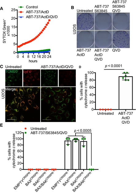BAX / BAK ‐dependent MOMP commits cells to die U2OS cells treated with 10 μM ABT‐737 and 1 μM ActD ± 20 μM qVD‐OPh. Cell viability was analysed using an IncuCyte live‐cell imager and SYTOX Green exclusion. Data are expressed as mean ± SEM, representative of three independent experiments. Clonogenic survival assay of U2OS cells treated with 10 μM ABT‐737 and 2 μM S63845 ± 20 μM qVD‐OPh or 10 μM ABT‐737 and 1 μM ActD ± 20 μM qVD‐OPh. Representative images from three independent experiments. Airyscan images of U2OS cells treated with 10 μM ABT‐737, 1 μM ActD and 20 μM qVD‐OPh for 3 h, immunostained with anti‐TOM20 (green) and anti‐cytochrome c (red). Scale bar = 10 μm. Representative images from three independent experiments. Quantification of cytochrome c release from mitochondria. Data are expressed as mean ± SD from three independent experiments and analysed using Student's t ‐test. Quantification of cytochrome c release from BAX‐, BAK‐, and BAX/BAK‐deleted cells. Data are expressed as mean ± SD from three independent experiments and analysed using Student's t ‐test. Source data are available online for this figure.