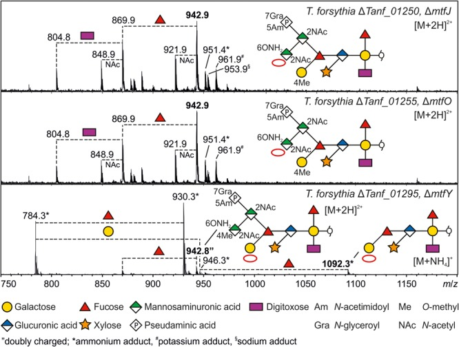 ESI-MS sum spectra of β-eliminated TfsB O -glycans from T. forsythia ATCC 43037 methyltransferase knock-out mutants. The glycan structures of the signals corresponding to the largest mass (bold m / z values) are shown in SNFG representation ( Varki et al., 2015 ). Other O -glycan signals detected for the respective mutants were assigned based on the m / z mass differences corresponding to the loss of individual sugar units and/or modifications. The lack of methyl modifications is indicated by a red circle in the symbolic O -glycan structure representation.