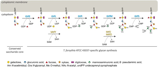 Model for the biosynthesis of the species-specific portion of the T. forsythia ATCC 43037 O -glycan. Upon synthesis of the pentasaccharide core on an undP lipid carrier, the first carbohydrate residue of the species-specific glycan is a Fuc residue conferred by GtfE. The glycan is elongated with a Gal residue which is transferred by GtfL and methylated by MtfY. The assembly of the three sugar branch, consisting of a ManNAcA residue (transferred by GtfI), a ManNAcCONH 2 residue (GtfM), which is methylated by either MtfJ or MtfO, and a Pse5Am7Gra residue (transferred via GtfS), completes the synthesis of the decasaccharide.