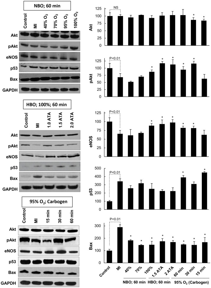 Key signaling proteins in the MI heart subjected to OxCy. The levels of Akt, pAkt, eNOS, p53, and Bax were probed in hearts subjected to daily oxygen cycling 3 days after induction of MI for 5 days. Representative western blot images are shown on the left and densitometric analyses (band intensity) of Akt, pAkt, eNOS, p53, and Bax are shown on the right. Results are plotted as Mean ± SD for each group, expressed as a percent of the respective Control group. The number of hearts (N) used for densitometric analysis: Control, 5–7; MI, 11–15; all other groups, 3–10. Statistical significance between Control and MI group is indicated (NS denotes not significant). * p
