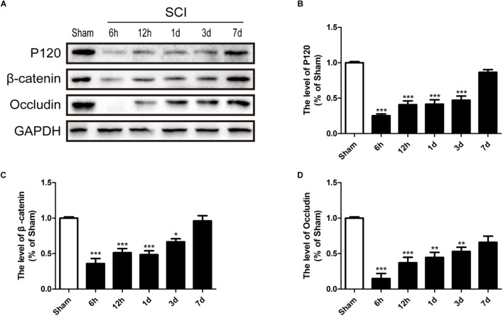 SCI induces the loss of TJ and AJ proteins. (A) Representative western blotting results for TJ proteins (Occludin) and AJ proteins (P120 and β-catenin) in the sham group, 6 h, 12 h, 1d, 3d, and 7d after SCI group. (B–D) Quantification of the expression of Occludin, P120, and β-catenin. The relative band density value was normalized to that of GAPDH. All data are presented as the mean ± SEM, n = 5. ∗ P