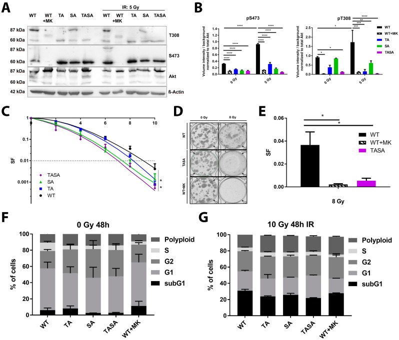 Expression of phosphorylation-deficient Akt1 mutants reduced cancer cell radiosensitivity. TrC1 were exposed to irradiation with 5 Gy. ( A ) The phosphorylation status (S473, T308) of the Akt1 mutants at 0.5 h after irradiation depicted by western blot analysis. Lower bands (60 kDa) show endogenous Akt; upper bands (87 kDa) depict eGFP-fused Akt1-mutants. ( B ) The quantification of pS473 and pT308 western blots of 3 independent experiments shows the volume intensity normalized to the background. The volume intensity of phosphorylated Akt was normalized to the volume intensity of total amount of Akt. ( C , D ) Long-term survival (survival fraction, SF) altered by Akt1 mutants upon IR (0–10 Gy). Akt1-TASA showed significantly reduced survival upon IR. Pictures depict a standard 6-well cell culture plate. ( E ) Long-term survival in Akt1-WT expressing cells treated with 4 µM MK-2206 for 16 h before IR (WT + MK) compared to the effect evoked by Akt1-WT and Akt1-TASA expression without additional treatment. Data represent SF upon 8 Gy. * p