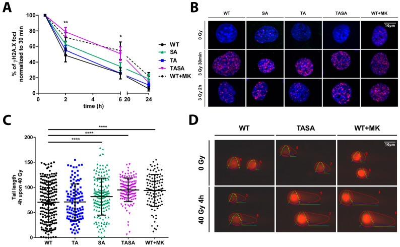 The genetic or pharmacologic inhibition of Akt1-phosphorylation affects DNA repair upon IR. TrC1 stably overexpressing Akt1-WT, pre-treated for 2 h with 0 or 4 µM MK-2206, or the phosphorylation-deficient Akt1-TA, -SA or -TASA mutants were exposed to irradiation with 0 Gy, 3 Gy ( A,B ) or 40 Gy ( C,D ) as indicated. ( A , B ) Cells were fixed in 3% para-formaldehyde (PFA), permeabilized with 0.2% Triton X-100 in phosphate-buffered saline (PBS) at distinct time points between 0 h and 24 h upon irradiation with 3 Gy, and stained with Hoechst33342, to visualize the nuclei (blue), and γH2A.X (magenta), to visualize sites of DNA DSB. ( A ) The number of γH2A.X foci at 2–24 h after irradiation with 3 Gy using the Focinator v 2.2. software [ 20 ] was normalized to the number of foci detected at 0.5 h time point. ( C , D ) Cells were processed by applying neutral comet assay to quantify the amount of damaged DNA in the form of DSB at a fixed time-point. The quantification was performed by the OpenComet software and depicts the comet tail length of each indicated Akt1 mutant 4 h upon 40 Gy. ( A , C ) Data show means ± SD from 3 independent experiments with 50 analyzed nuclei per trial and condition. * p