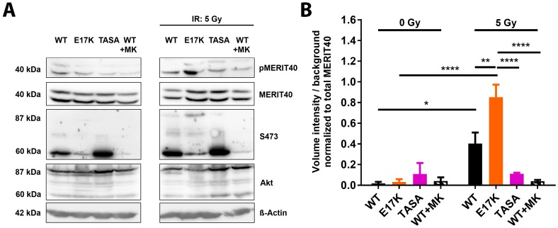 The Akt's activation state impacts the phosphorylation of the HRR-associated Akt-target protein MERIT40. ( A ) TrC1 stably expressing the constitutively active Akt1-E17K, phosphorylation-deficient Akt1-TASA or Akt1-WT were exposed to irradiation with 5 Gy. Akt1-WT expressing TrC1 were additionally treated with 4 µM of MK-2206 2 h prior to IR. Phosphorylation status (S473) of the Akt1 mutants, as well as the expression and phosphorylation status of the assumed Akt-target protein MERIT40, at 0.5 h after irradiation depicted by western blot analysis. For S473 and Akt: lower bands (60 kDa) show endogenous Akt and upper bands (87 kDa) depict eGFP-fused Akt1-mutants. ( B ) The quantification of pMERIT40 western blots of 3 independent experiments shows volume intensity normalized to the background. Volume intensity of phosphorylated Akt was normalized to the volume intensity of the total amount of Akt. Bars represent means ± SD from 3 independent experiments. * p