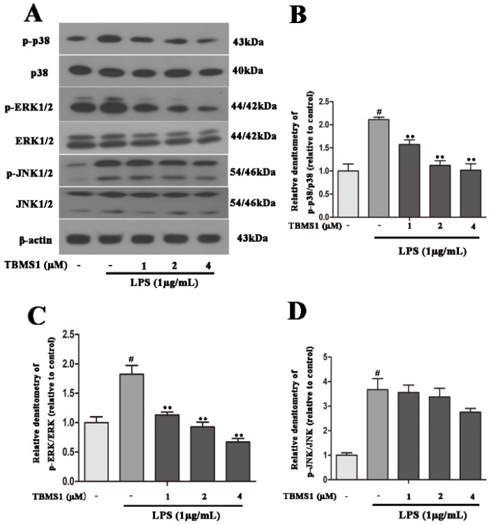 TBMS1 inhibits the phosphorylation of p38 and ERK1/2 in LPS-exposed BV-2 cells. The BV-2 cells were pretreated for 1 h with TBMS1 (1, 2 and 4 μM), then incubated with LPS (1 μg/mL) for 1 h. ( A ) The protein levels of p38, ERK1/2, JNK1/2 and their phosphorylated forms were tested by western blotting. The phosphorylation of p38 ( B ), ERK1/2 ( C ) and JNK1/2 ( D ) was analyzed relative to β-actin. The results are shown as mean ± SD of three independent experiments. # p