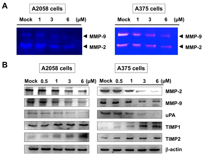 Effects of bornyl cis -4-hydroxycinnamate on the activities of MMP-2/-9 and protein levels in A2058 and A375 cells. A2058 and A375 cells were treated with different concentrations of bornyl cis -4-hydroxycinnamate (0, 1, 3, 6 µM) for 24 h, and conditioned media and cell lysates were collected for analysis. ( A ) Gelatin zymography showed that bornyl cis -4-hydroxycinnamate inhibited MMP-2/-9 activities in A2058 and A375 cells in a dose-dependent manner; ( B ) The expression levels of MMP-2/-9-related proteins, including MMP-2, MMP-9, uPA, TIMP-1, and TIMP-2, were validated by western blotting. In order to observe the effect of these proteins associated with bornyl cis -4-hydroxycinnamate at low concentrations, a 0.5 μM treated group was added. The results showed decreased MMP-2/-9 and uPA protein levels and increased TIMP-1 and TIMP-2 protein levels in A2058 and A375 cells after bornyl cis -4-hydroxycinnamate treatment. β-actin was used as the protein loading control. Mock: cells treated with vehicle control (DMSO).