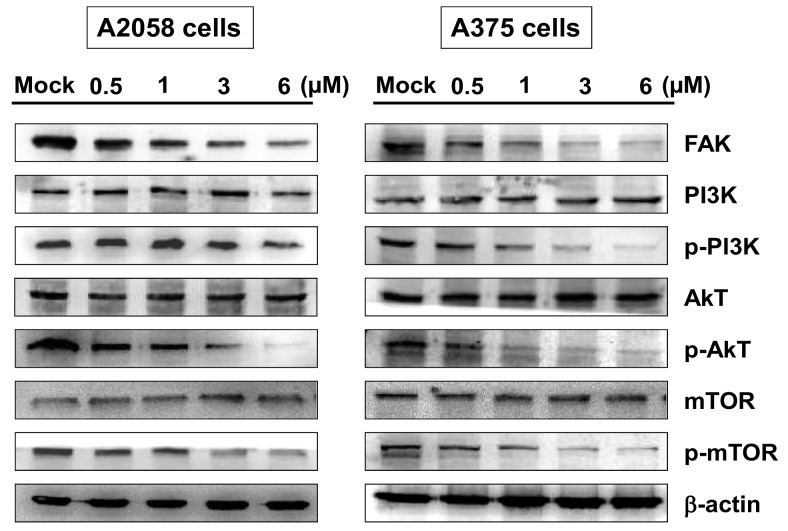 The effects of bornyl cis -4-hydroxycinnamate on the FAK/PI3K/Akt/mTOR signaling pathways in A2058 and A375 cells. A2058 and A375 cells were treated with bornyl cis -4-hydroxycinnamate at various concentrations (0, 0.5, 1, 3, 6 µM) for 24 h, and cell lysates were collected for Western blot analysis. The FAK/PI3K/Akt/mTOR-related proteins were validated, including FAK, PI3K, p-PI3K, Akt, p-Akt, mTOR, and p-mTOR. Bornyl cis -4-hydroxycinnamate inhibited FAK, p-PI3K, p-Akt, and p-mTOR protein levels in A2058 and A375 cells. β-actin was used as the protein loading control. Mock: cells treated with vehicle control (DMSO).
