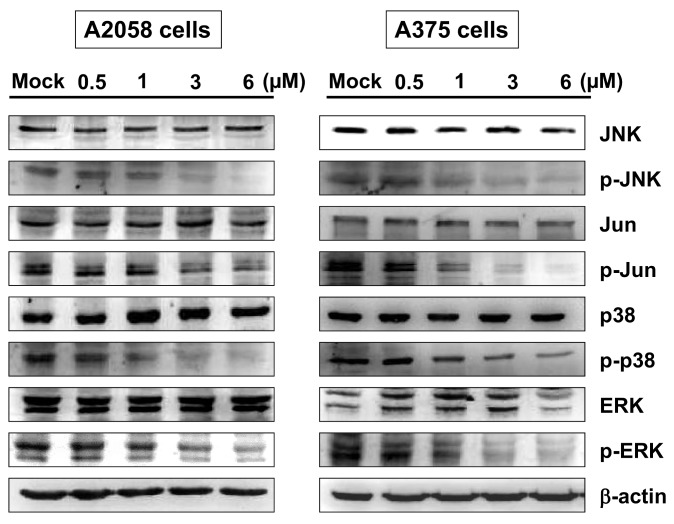 The effects of bornyl cis -4-hydroxycinnamate on mitogen-activated protein kinase (MAPK) signaling pathways in A2058 and A375 cells. A2058 and A375 cells were incubated with different concentrations of bornyl cis -4-hydroxycinnamate (0, 0.5, 1, 3, 6 µM) for 24 h, and cell lysates were collected for Western blot analysis. JNK, p-JNK, Jun, p-Jun, p38, p-p38, ERK, and p-ERK of MAPKs-related proteins were validated. Bornyl cis -4-hydroxycinnamate treatment inhibited p-JNK, p-Jun, p-p38, and p-ERK protein levels in A2058 and A375 cells. β-actin was used as the protein loading control. Mock: cells treated with vehicle control (DMSO).