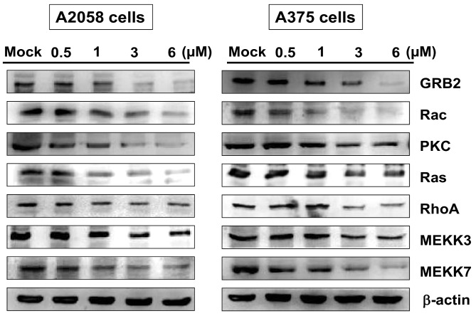 The effects of bornyl cis -4-hydroxycinnamate on the GRB2 signaling pathway in A2058 and A375 cells. A2058 and A375 cells were treated with various concentrations of bornyl cis -4-hydroxycinnamate (0, 0.5, 1, 3, 6 µM) for 24 h, and cell lysates were collected for Western blot analysis to determine the expression levels of GRB2-related proteins, including GRB2, Rac, PKC, Ras, RhoA, MEKK3, and MEKK7. The protein expression levels were decreased after bornyl cis -4-hydroxycinnamate treatment. β-actin was used as the protein loading control. Mock: cells treated with vehicle control (DMSO).