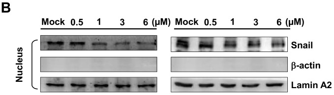 Suppression of epithelial to mesenchymal transition (EMT) by bornyl cis -4-hydroxycinnamate in A2058 and A375 cells. A2058 and A375 cells were treated with different concentrations of bornyl cis -4-hydroxycinnamate (0, 0.5, 1, 3, 6 µM), and ( A ) cytosol and ( B ) nucleus proteins were collected separately for western blot analysis. EMT-related proteins N -cadherin, E -cadherin, and Snail were validated. The protein levels of N -cadherin and Snail were decreased, while that of E -cadherin was increased in A2058 and A375 cells after treatment with bornyl cis -4-hydroxycinnamate. β-actin and Lamin A2 were used as the internal controls separately for cytosol and nucleus proteins. Mock: control, DMSO-treated cells.